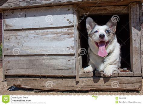 old dog house corgi in old dog house stock photo image of pets herding 20946908
