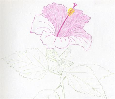 Sketches Flowers by Hibiscus Flowers Drawing Tutorial