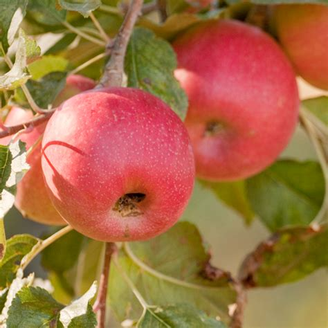 fruit trees buy bare root trees fruit nut trees fruit trees nut