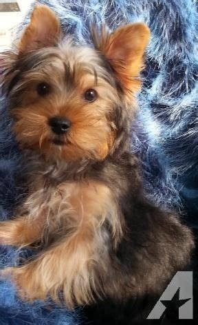 purebred yorkie purebred yorkie biewer for sale in suamico wisconsin classified americanlisted