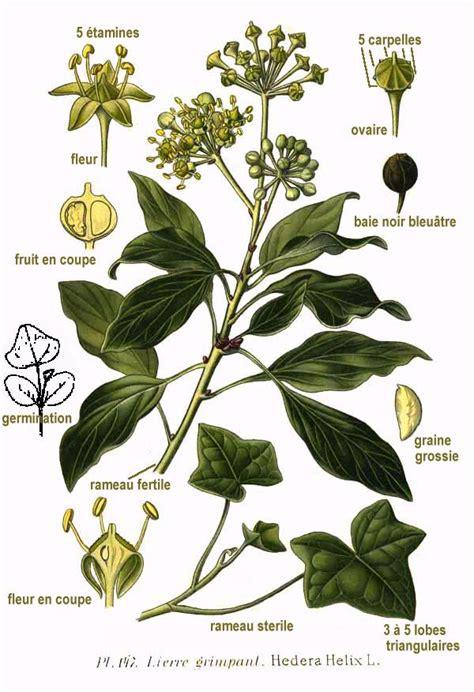 dei fiori cing hedera la enciclopedia libre