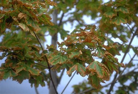 maple tree health prevent road salt damage on your parkway trees kramer tree specialists inc