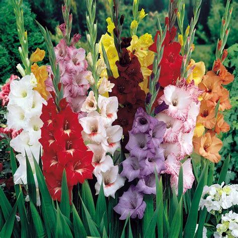 gladioli fiori bulbose gladiolo gladiolus spp