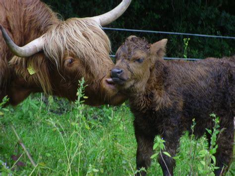 ancient breeds killrowan farm