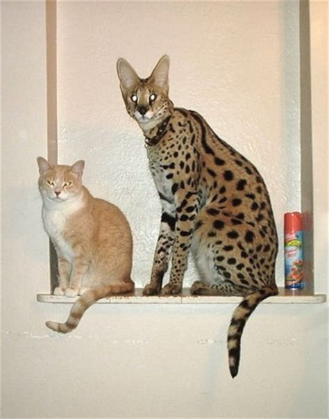 Serval on Pinterest   Savannah Cats, Africans and Cats