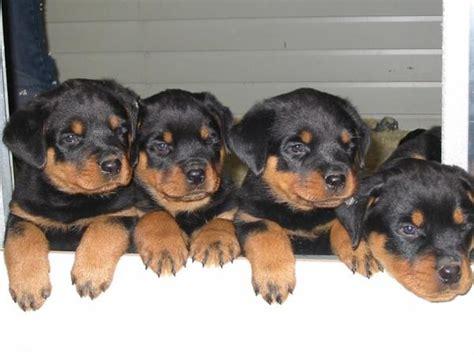 perros rottweiler cachorros caracteristicas de los perros rottweiler nombres para perros