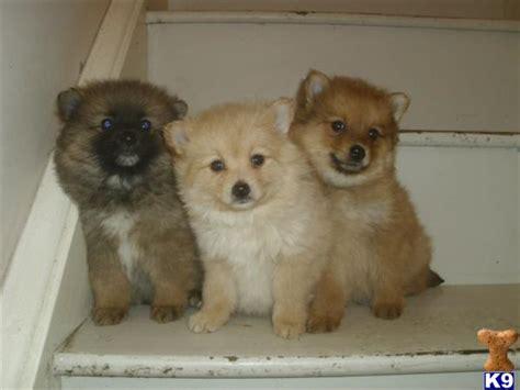 pomeranian cross maltese puppies 3 4 pomeranian cross 1 4 maltese puppies 31350