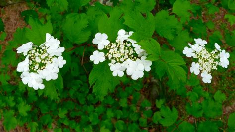 flowering shrub crossword the of maine cooperative extension