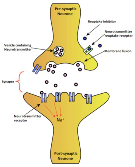 Neurotransmitters Also Search For Reuptake Inhibitor Psychonautwiki