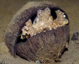octopus home intelligent octopuses recycle coconut shells discarded