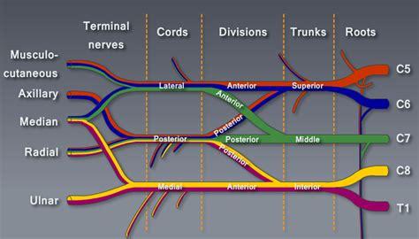 brachial plexus diagram brachial plexus module