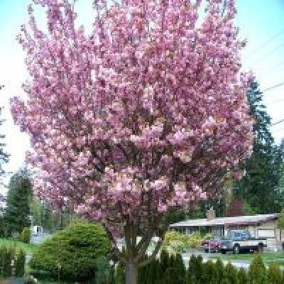 cherry tree strain japanese flowering cherry tree seeds prunus serrulata