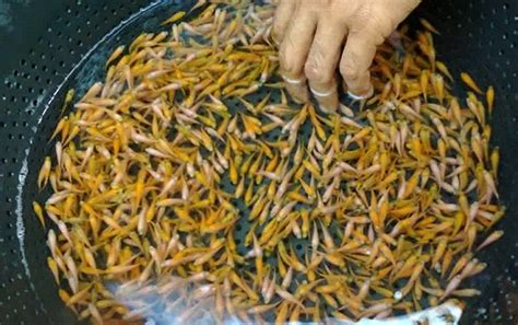 Benih Ikan Nila Per Liter cara budidaya ikan nila yang menguntungkan agar cepat panen