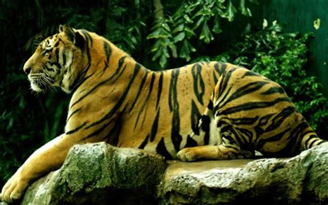 wallpaper animasi tiger harimau gambar animasi apl android di google play