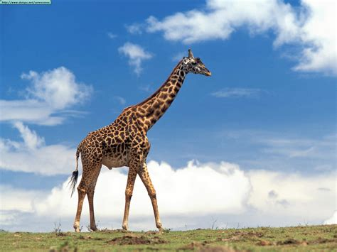 imagenes una jirafa fotos de jirafas