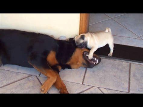 pug rottweiler combate rottweiler x pug