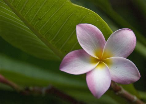 plumeria photos hawaiian plumeria flickr photo sharing