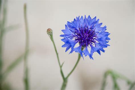 cornflower blue file cornflower blue jpg wikipedia