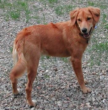 of the border golden retrievers golden border retriever breed information and pictures
