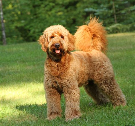 goldendoodle puppy rescue goldendoodle puppies rescue pictures information temperament characteristics