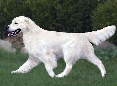 kyon golden retrievers ch kyon s can t get no satisfaction kyon kennels