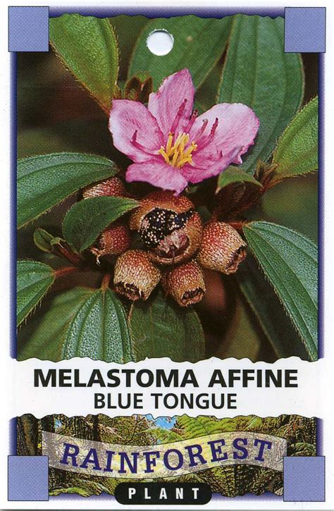 blue tongue melastoma affine
