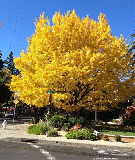 the bee and the ginkgo tree bug squad anr blogs