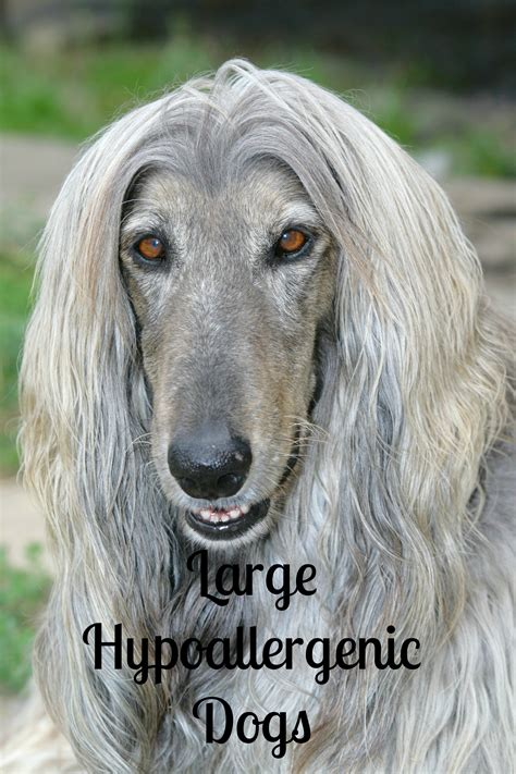 large hypoallergenic breeds are there any large breed hypoallergenic dogs vills