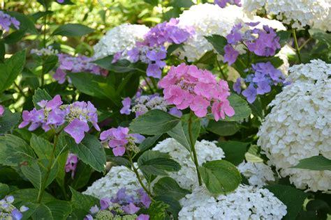 hydrangeas my connecticut garden part sun part shade pinterest