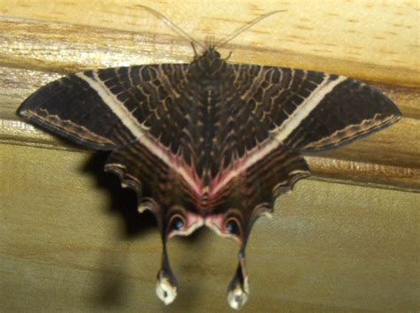 moths of costa rica s rainforest books eyetail moths archives what s that bug