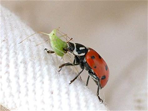 bed bug natural predators utcrops biocontrol