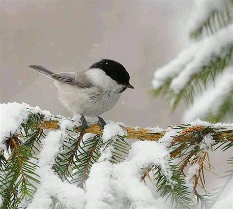 image gallery snowbird bird