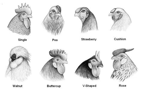 diffrent types of combover the distictive types of chicken combs tbn ranch chicken