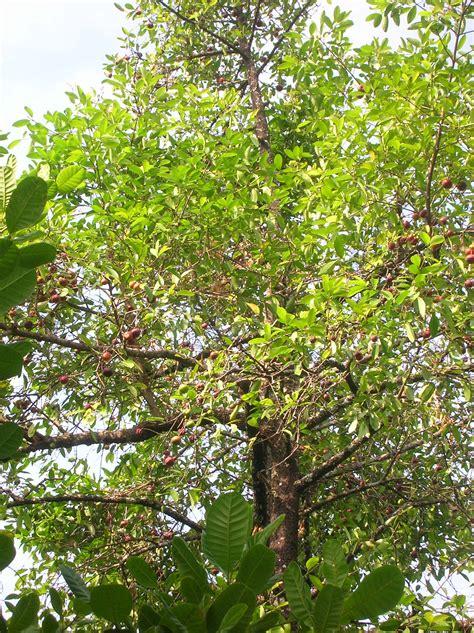 tree pic file garcinia indica tree jpg wikimedia commons