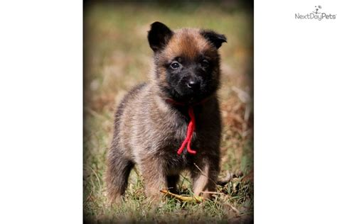 belgian malinois puppies for sale in nc belgian shepherd malinois for sale in carolina breeds picture