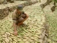 Kasur Kapuk Makassar bantaeng ekspor 75 ton biji kapuk ke korsel antara news