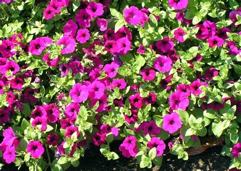 petunia home garden information center