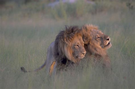 mating video of african people no those aren t male lions mating one is likely a female