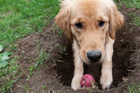 why do dogs dig holes why do dogs dig holes