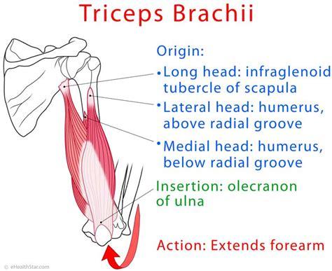 triceps diagram triceps brachii heads inner outer medial tendonitis
