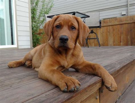 fox lab puppies for sale in pa pin fox labrador puppies for sale in pa on