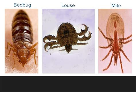 facts  bed bugs tooele county health department