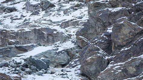 can you spot the snow leopards in these photos snow