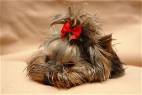 how to crate a yorkie puppy how to make hair bows for dogs including free hair bow for