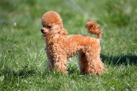 miniature poodle lifespan poodle breed information buying advice photos