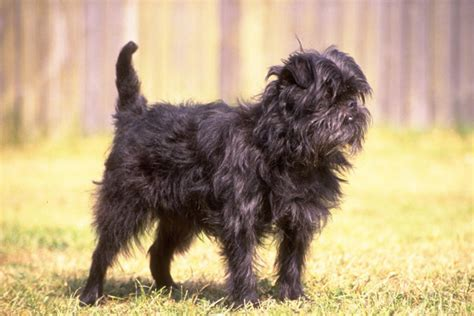 affenpinscher puppies for sale affenpinscher puppies for sale from reputable breeders