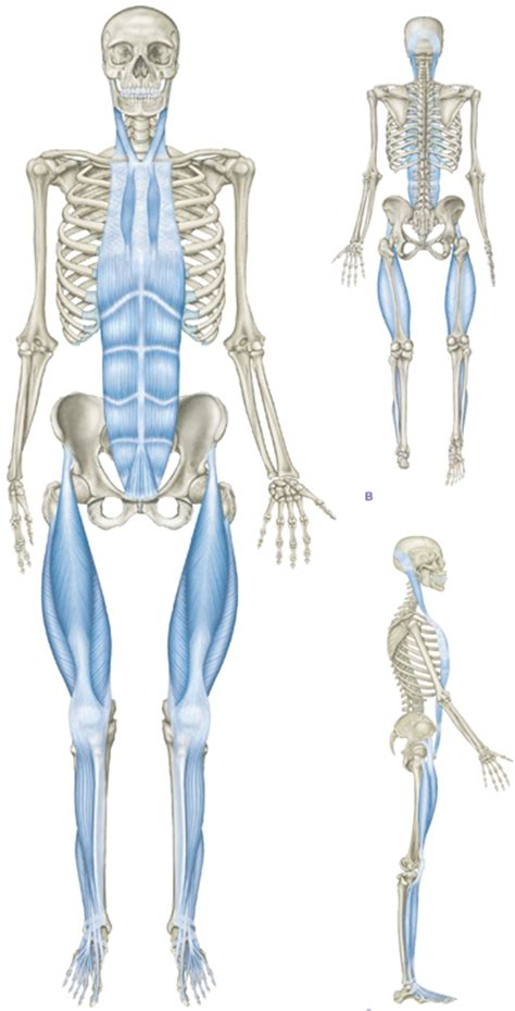 cadenas musculares thomas myers pdf dynamic sports physical therapy may 2016 newsletter