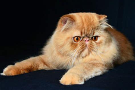 allevamento gatti persiani roma allevamenti nel lazio gattipersiani it gatti persiani