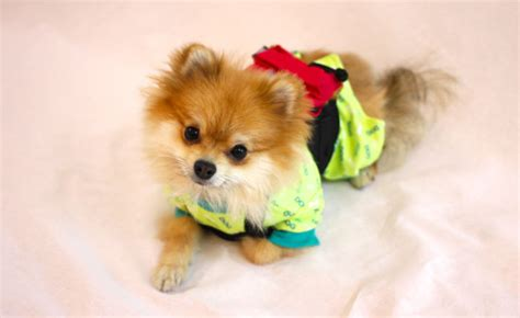 half pomeranian half pomeranian half fox tries to find his place in the world using his adorable