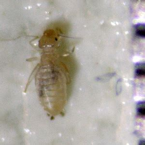 lice vs bed bugs is this insect a bed bug or a book louse ask an expert